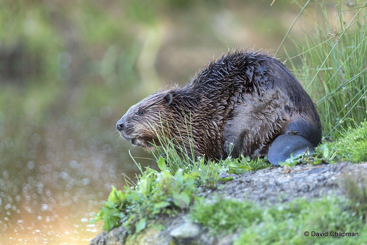 cornwall beaver cornwallbeaver twitter