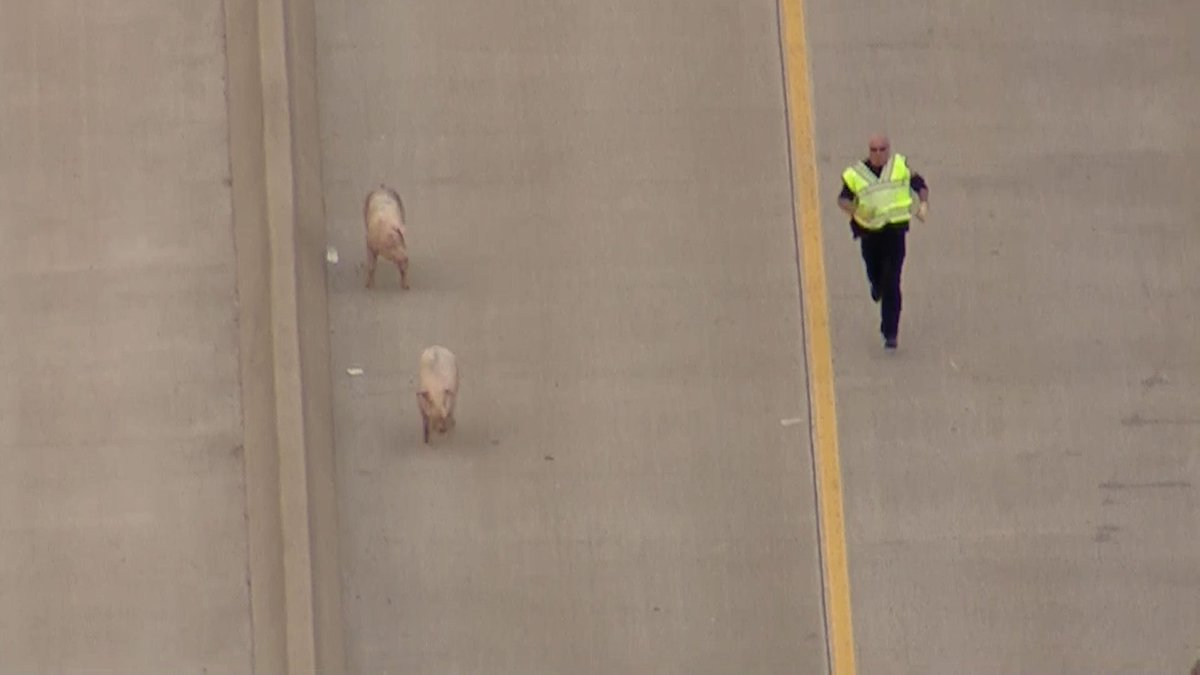 These officers are trying to get I-45 back open! Pigs have other plans...