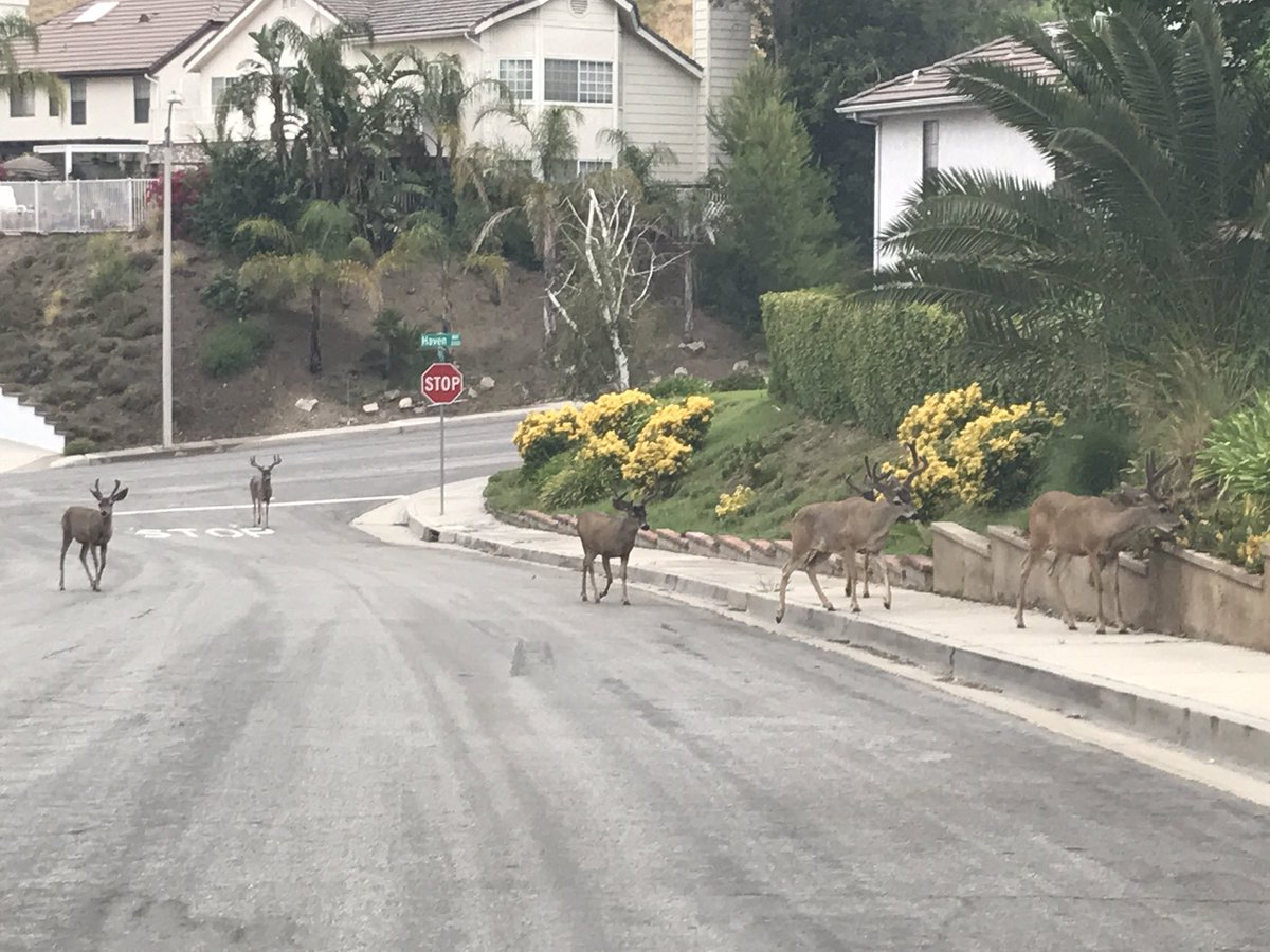 Deer displaced by Burbank fire. https://t.co/yRypzq6biJ