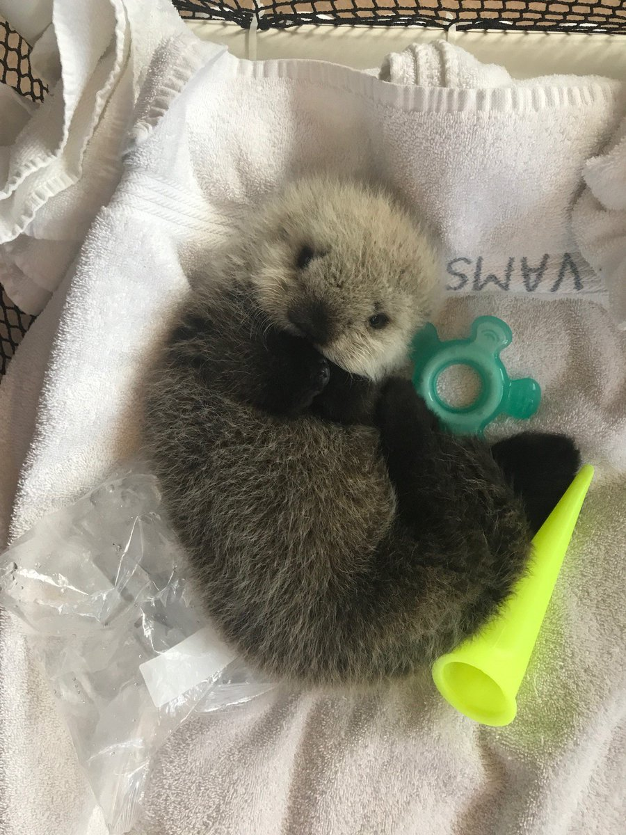 Please enjoy these photos of a baby otter, from Vancouver Aquarium. https://t.co/jcYGiT81cD