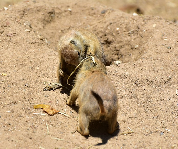 Maryland zoo on twitter did you know prairie dogs greet each other 505 pm 29 jun 2017 m4hsunfo