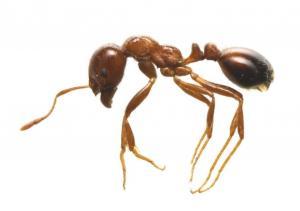 これがヒアリです。赤茶色の小型のアリで腹部は濃い黒っぽい赤色をしています。体長は2.5ミリ~6ミリ。毒針に刺されると、火傷のような激しい痛みが生じます。発見しても、決して触らず、県環境部に連絡をしてください。 https://t.co/PF9dUx0Wm6