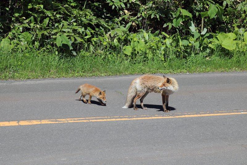 ( ˙³˙) とりあえずクルマに轢かれないことを切に望む。近くで見るとホントにカワイイぞ。野生のキツネ。 https://t.co/QfRJtYanWx