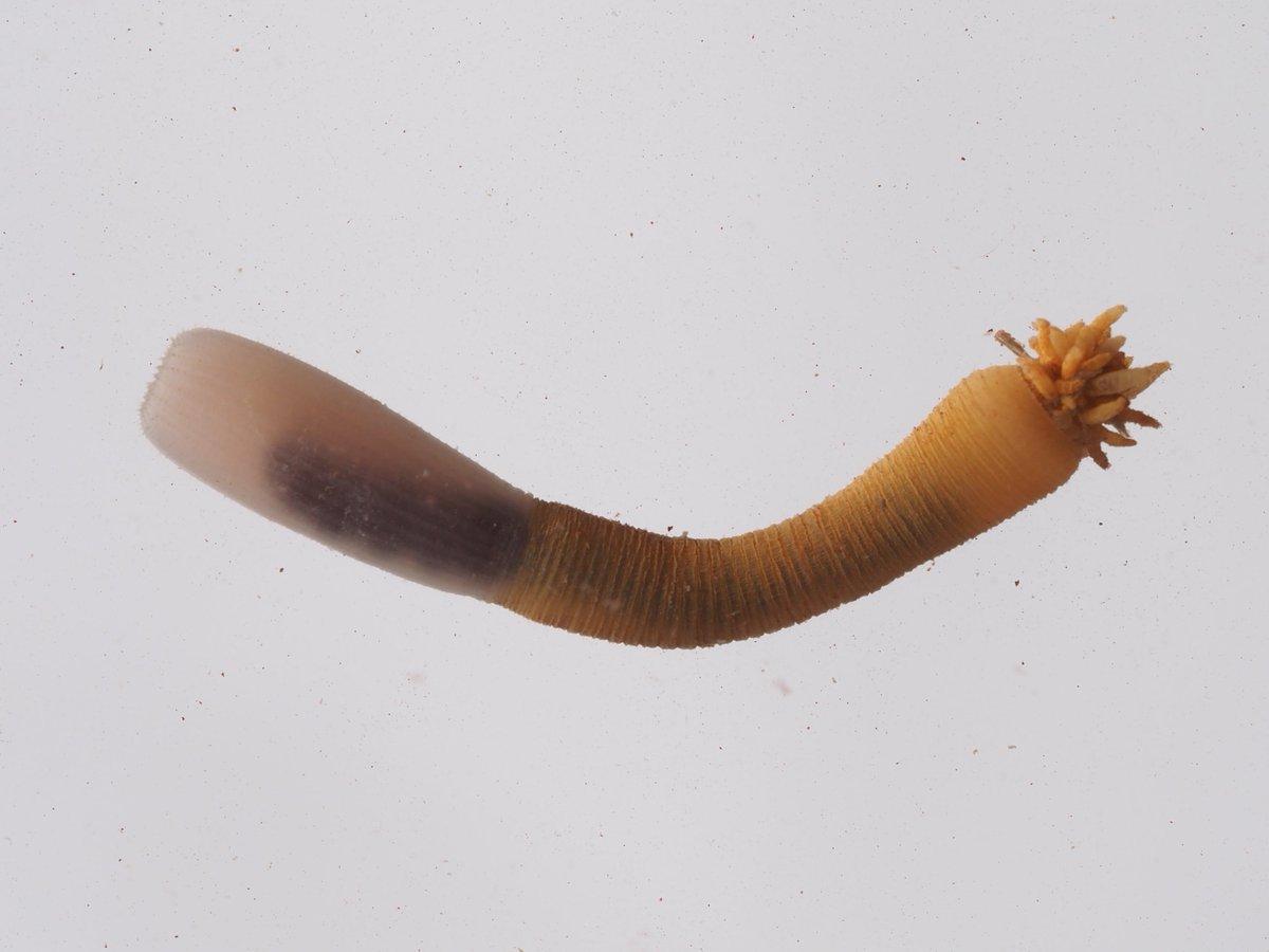 鰓曳動物 - Priapulida - Japane...