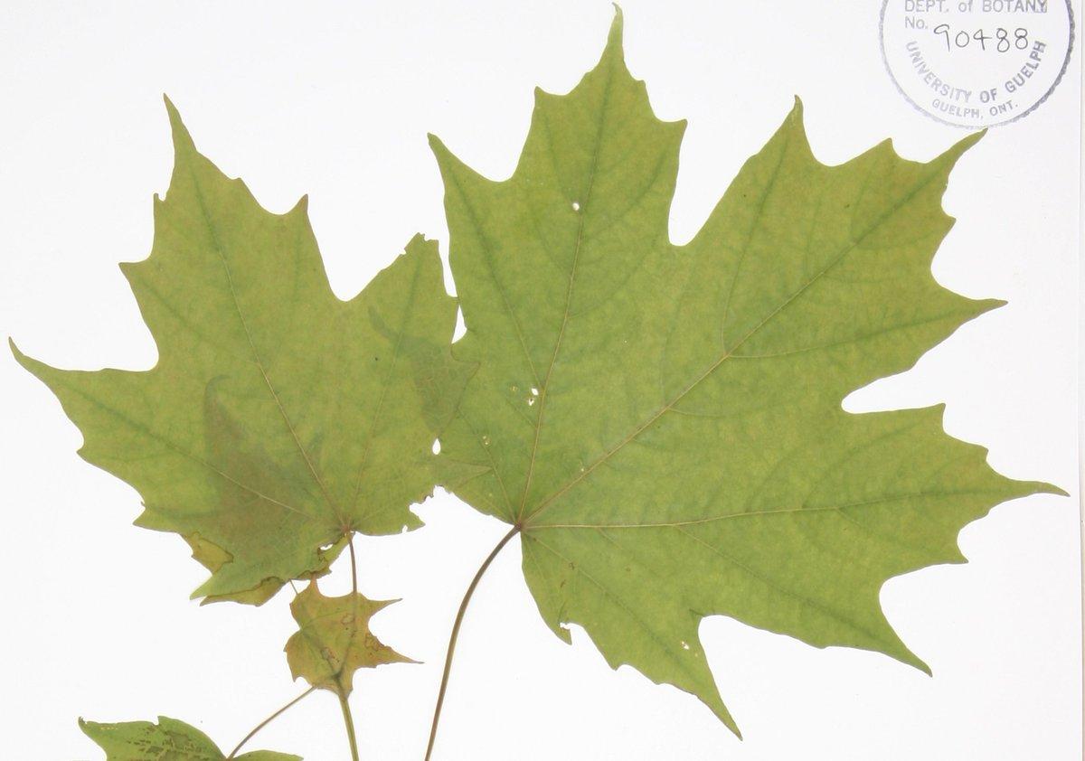 Biobuscanada On Twitter The Sugar Maple Is A True Symbol Of
