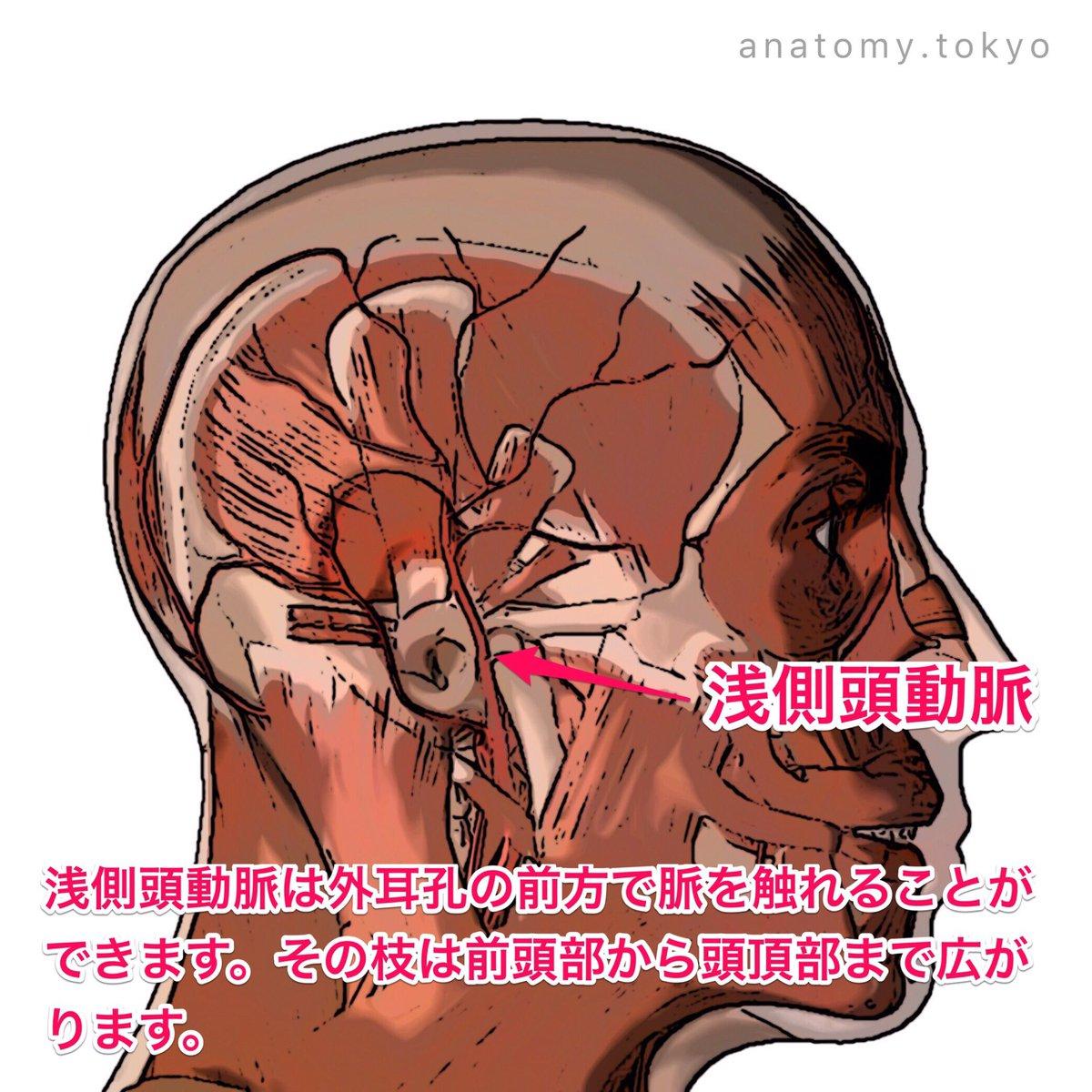 """かずひろ先生の【徹底的国試対策】解剖学 på Twitter: """"外頸動脈の枝で ..."""