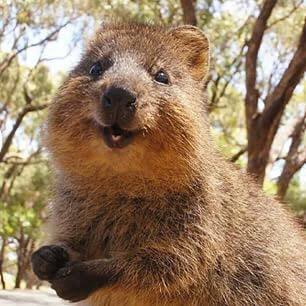 Wait, I can't believe this animal is real. Look at this lil Quokka!! https://t.co/OmkkfB95EJ