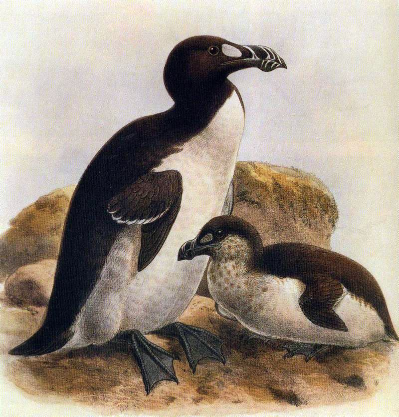 Why is 3rd July #WorldSeabirdDay ? because it's the anniversary of the last sighting of the Great Auk https://t.co/Va6XPgYUYx
