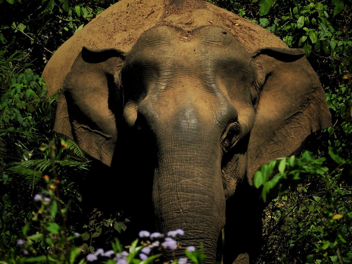 Elephant Family On Twitter Did You Know That African Elephants