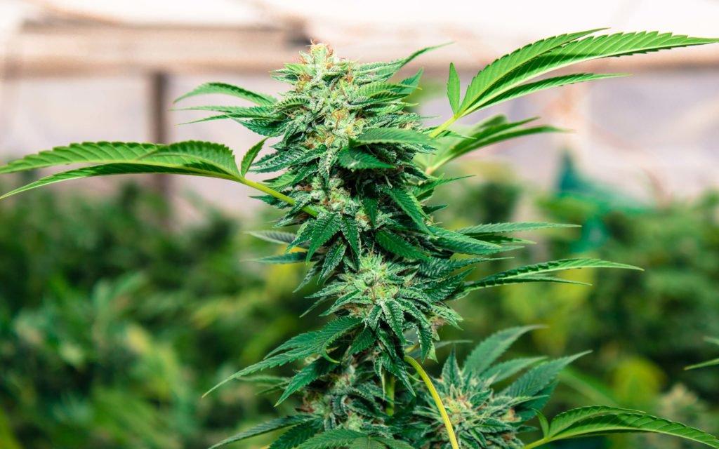 Uruguay: Recreational Marijuana Sales Begin July 19 at Pharmacies – High Times