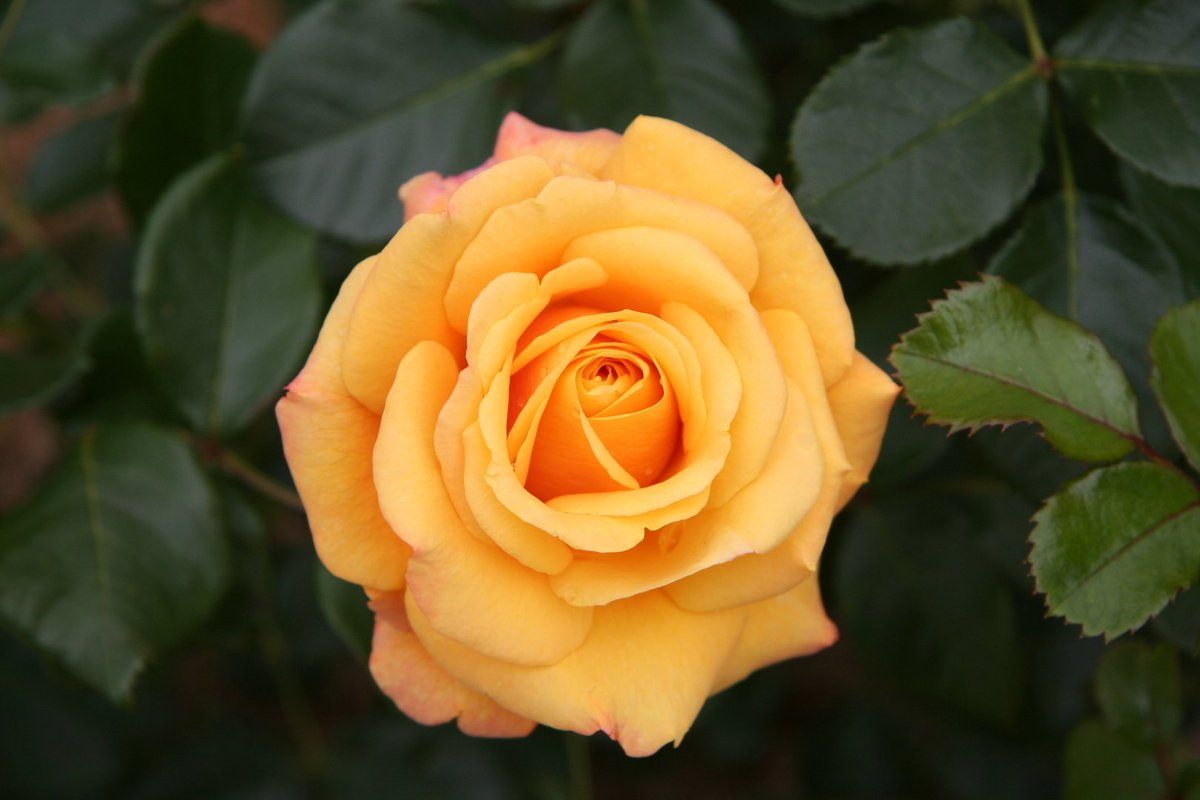 "hero wallpaper on twitter: ""top 10 most beautiful roses in the world"