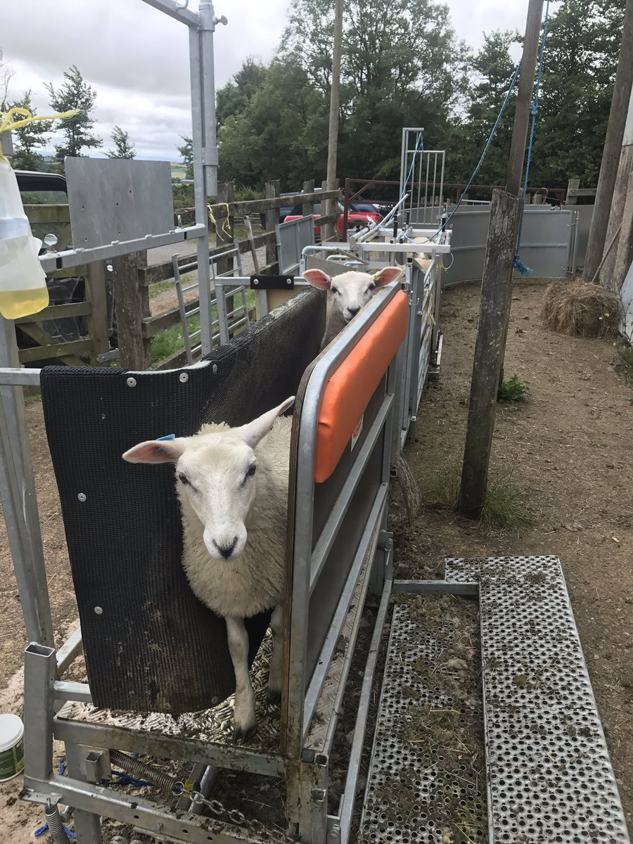 335 lambs to bolus. Happy Sunday!! #sheep365 <br>http://pic.twitter.com/sTLxQNYJjR