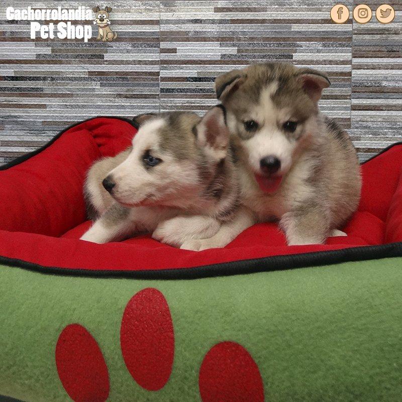Cachorros disponibles WhatsApp 849-803-4587  #Dog #Pet #Shop #Mascotas #RD #Peluquería #Asistencia #Perros #Alimentos #Disponible<br>http://pic.twitter.com/dluecxJQSf