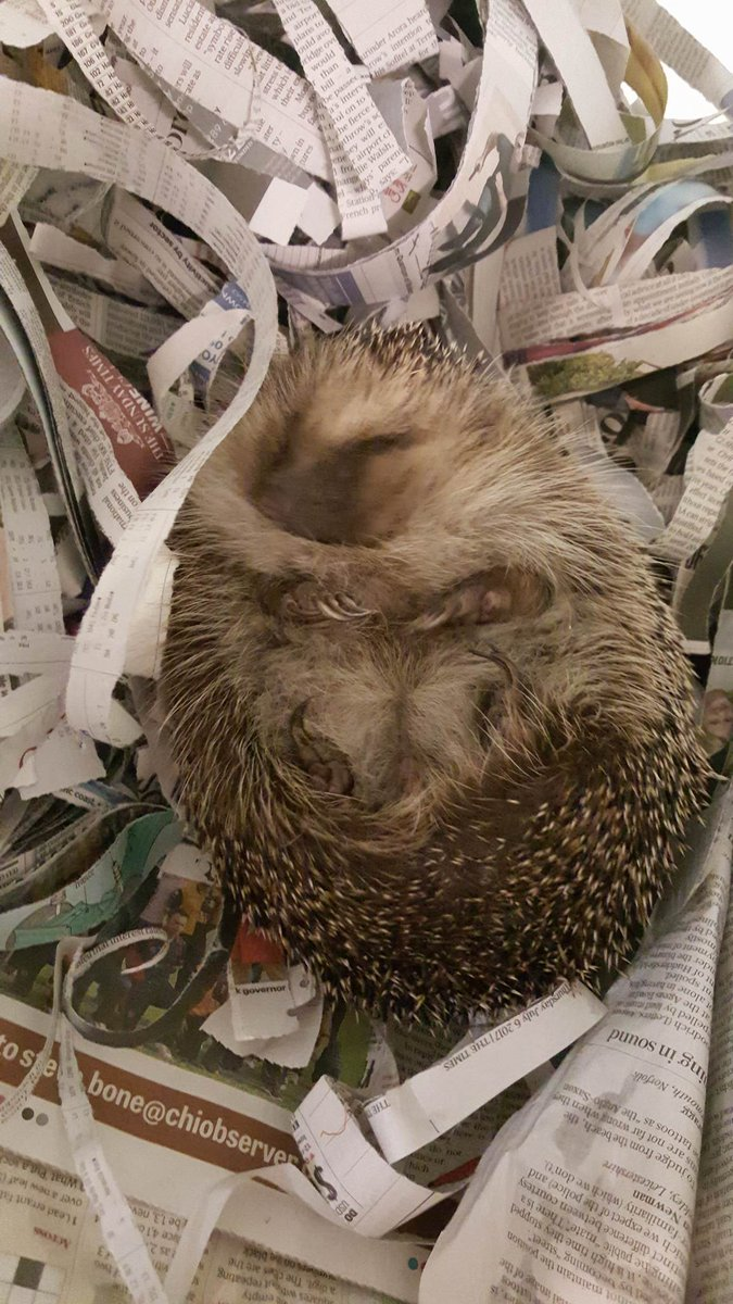 test Twitter Media - This 'little' guy needs to go on a strict diet! #hedgehogs #wildlife https://t.co/MVFi2MIADS
