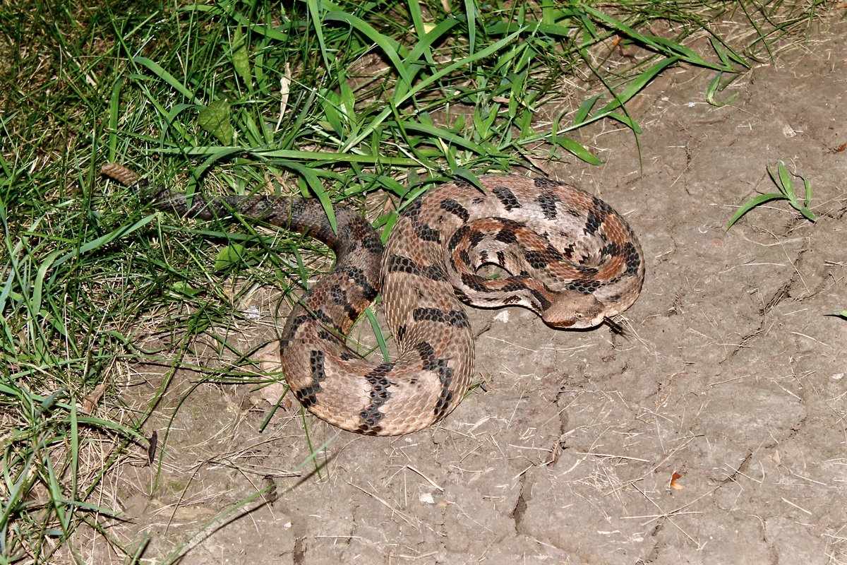 Happy #WorldSnakeDay! Here&#39;s a gorgeous Crotalus horridus we found outside of Lawrence KS after the SSAR 2015 meeting. #Rattlesnake #herpsci<br>http://pic.twitter.com/4DsLHtlMBN