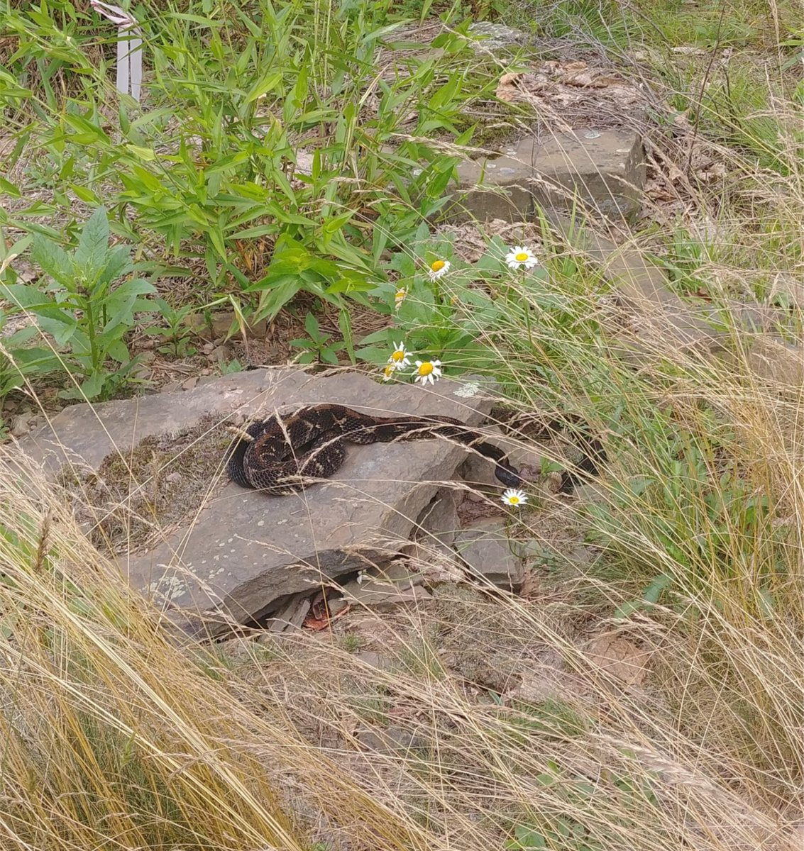 Step off buddy.  This is my Sunday afternoon relaxing rock! #rattlesnake #snake<br>http://pic.twitter.com/OoRlo549Yl