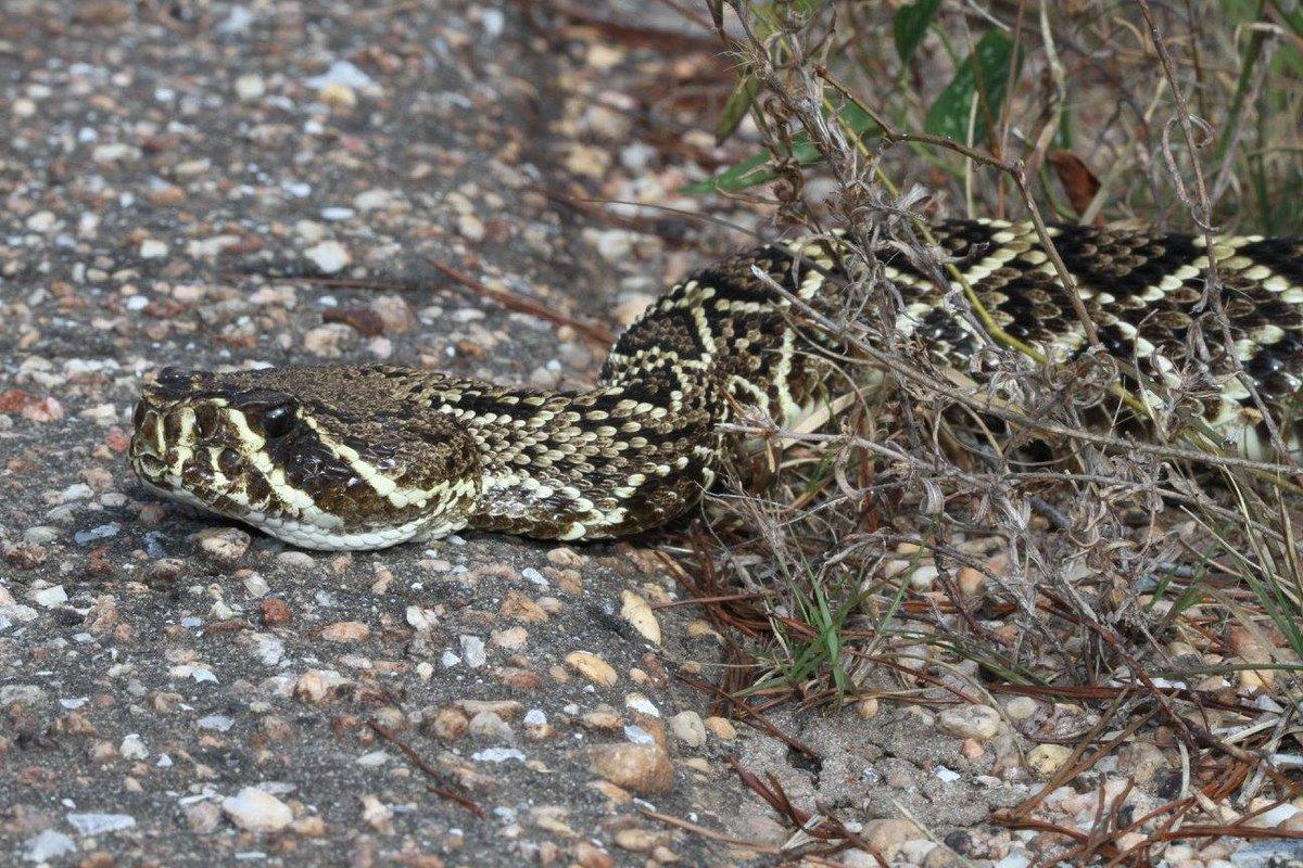 Today is #WorldSnakeDay.  Support snake conservation! @TheSnakeDude @OrianneSociety #rattlesnake #herpetology<br>http://pic.twitter.com/fFrbwwXPd6