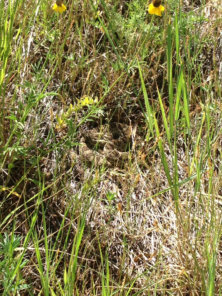 Can u find the #rattlesnake? @ NorthTableMtn Another good reason to #StayOnTrail &amp; leash your #dog @AdaptationEnv @MrAndrewDuBois<br>http://pic.twitter.com/OxXY3zOGq8
