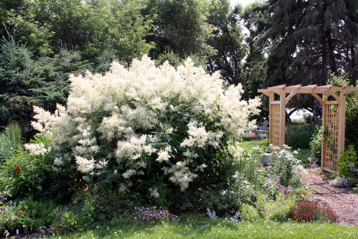In this #Neepawa garden, Giant Fleece Flower reigns. Goat's Beard and more. For more dramatic specimens: https://shar.es/1TbHft pic.twitter.com/KcpEWDYyq8