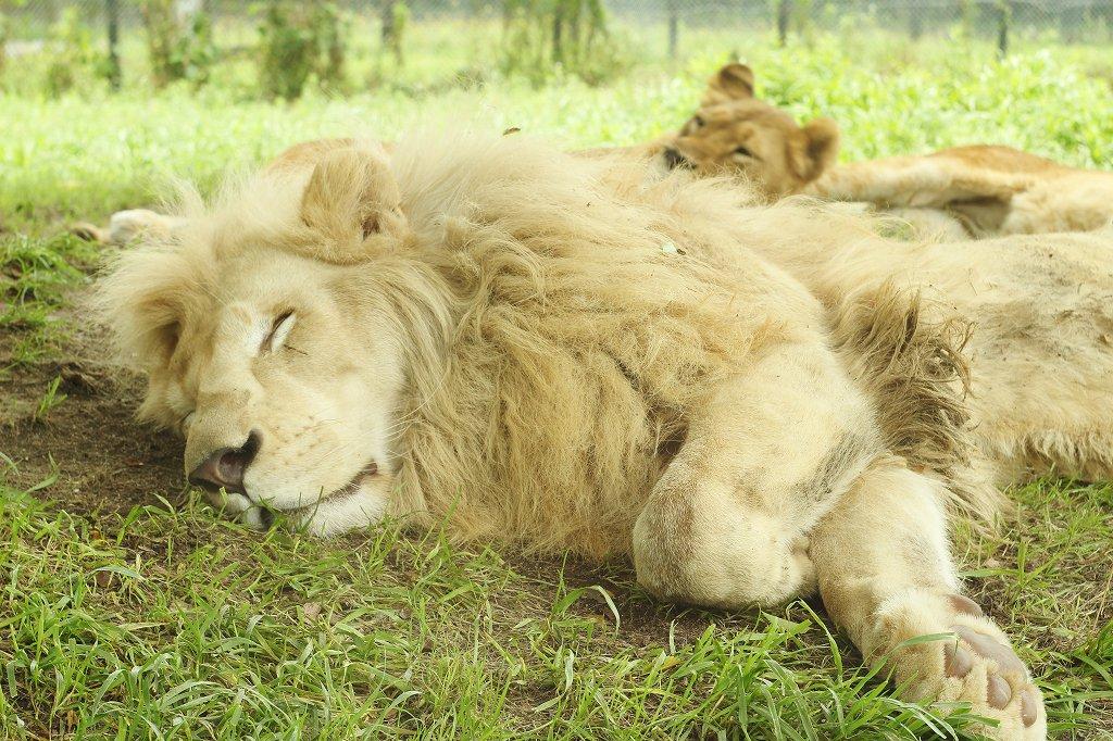 かっこいい百獣の王でも こんな可愛い寝顔をするのです(˘ω˘)スヤァ #姫セン #ホワイトライオン #寝顔