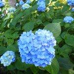 私の大好きな花♡紫陽花 先月、京都・藤森神社にて。  #ハイポネックス園芸部 #ハイポネックスアジサイ部 #ハッピーハイドランジアボックス