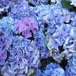 キレイに咲いていました。 #ハイポネックス園芸部 #ハイポネックスアジサイ部 #ハッピーハイドランジアボックス
