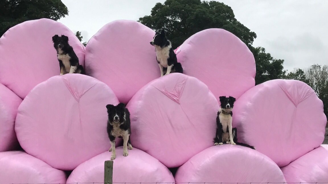 Farmers try and do their bit for #breastcancerawareness #pinkwrap @breastcancernow @BCTGB #sheep365 <br>http://pic.twitter.com/68Xv5fbD2Y