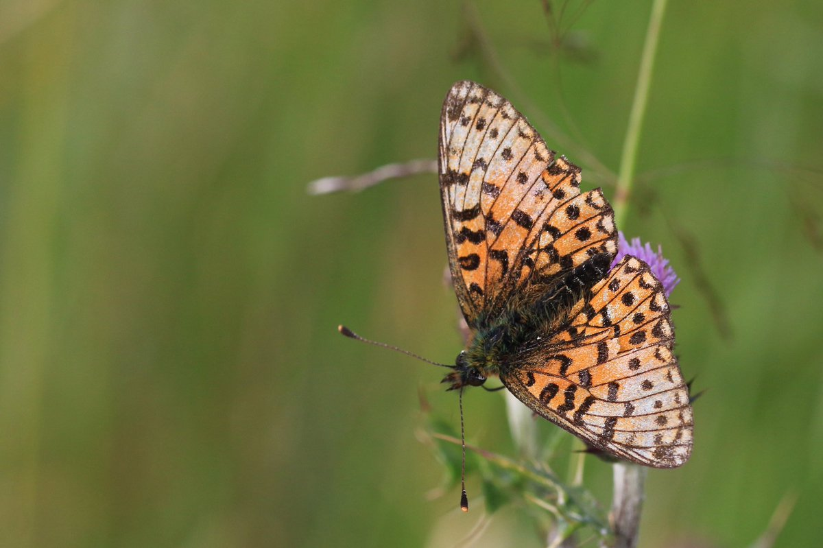 A worn Small pearl-bordered fritillary #BoloriaSelene nectaring on thistle at #FenBog  @northyorkmoors  Another first for me https://t.co/S0NIQHZToz