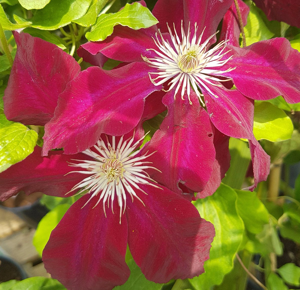 Golden Days On Twitter Clematis Rebecca Large Flowers Flowering