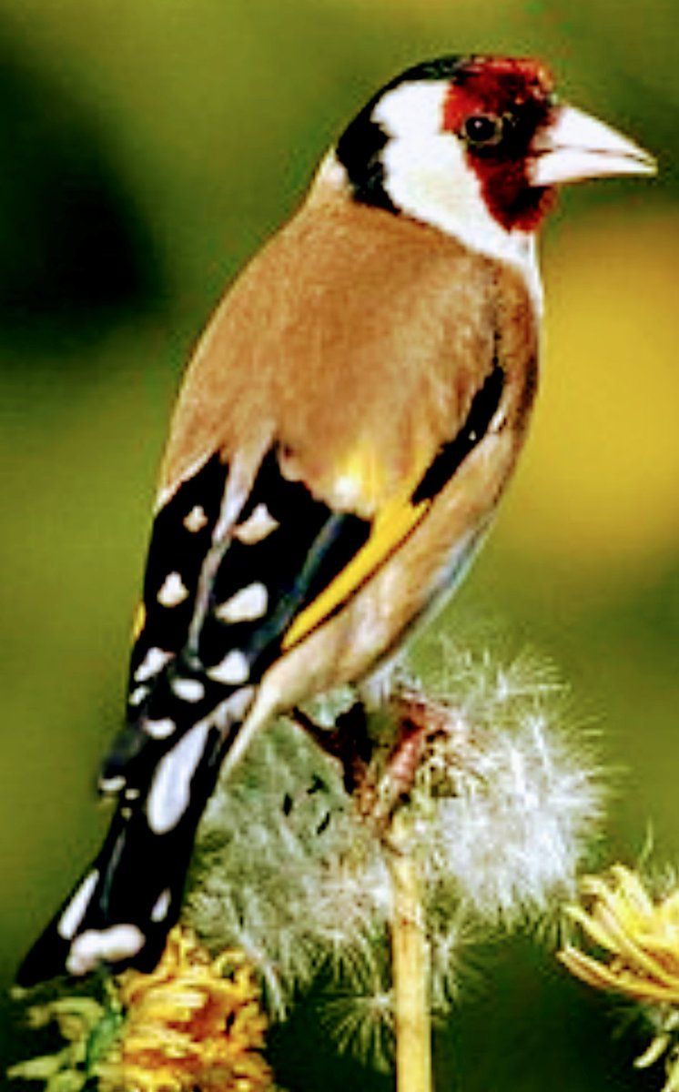 @UKTwitchers @TwitchersNews #goldfinches starting to group together to form a charm. Feeding on a couple of acre&#39;s of thistles. A joy to see <br>http://pic.twitter.com/SAZScchKdE