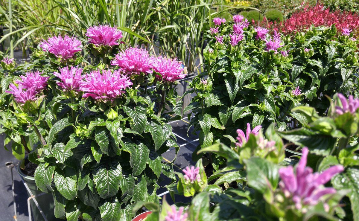 Selections nursery on twitter monarda petite delight pink selections nursery on twitter monarda petite delight pink feathery flowers glossy green leaves herbaceous perennial blooming june sept mightylinksfo