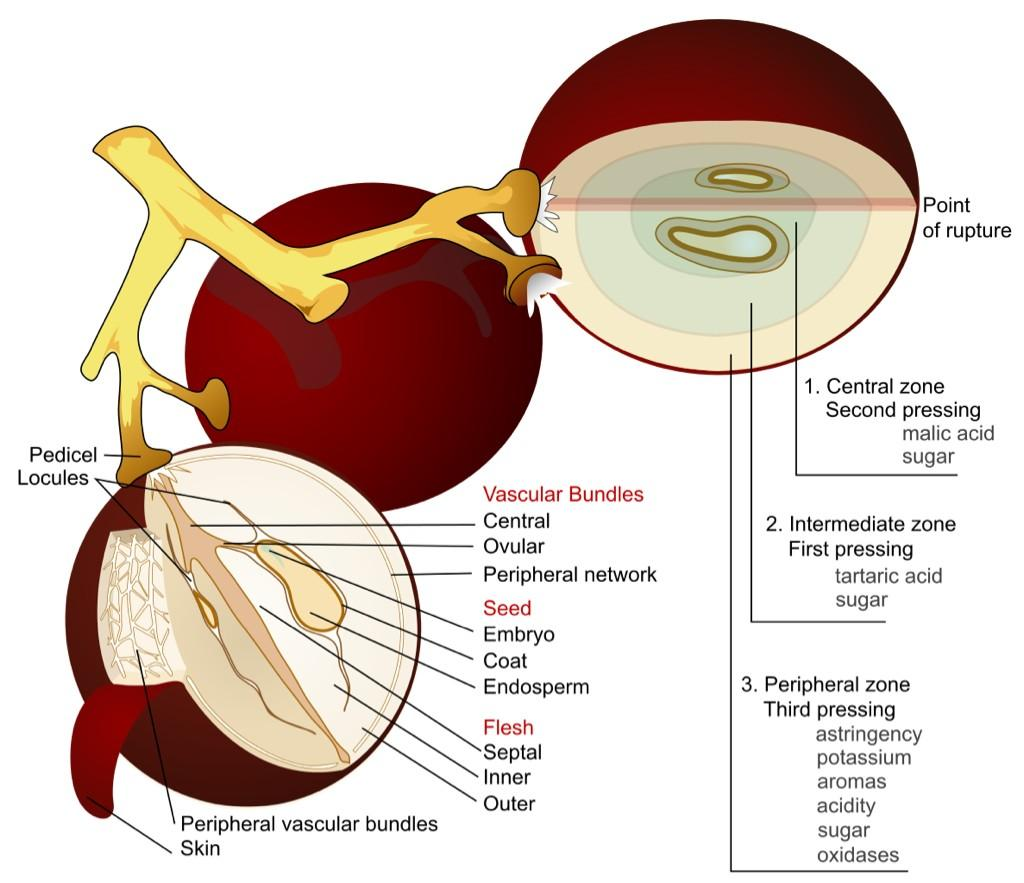 The anatomy of a grape! #wine <br>http://pic.twitter.com/xcxNZ97xcG