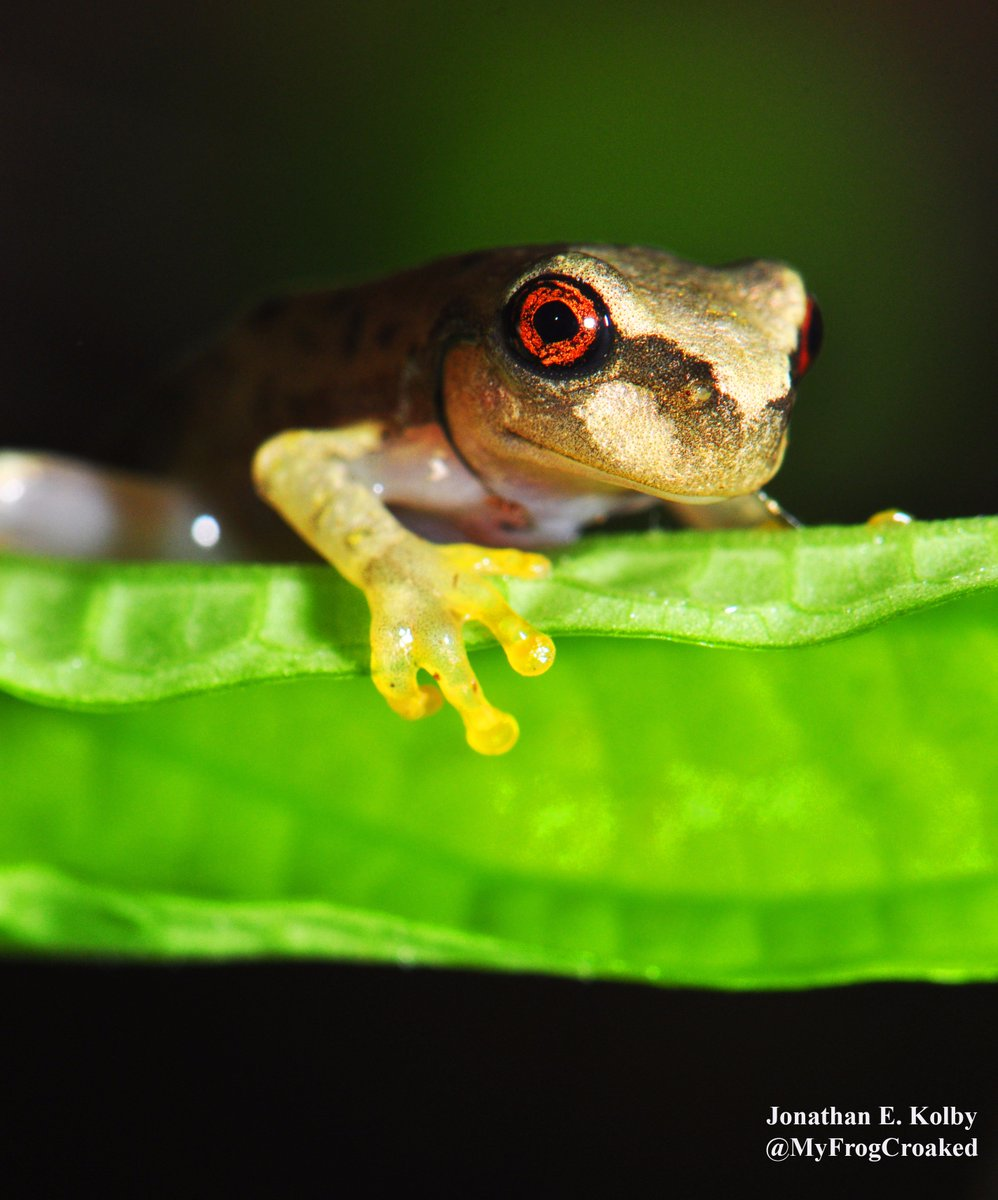 A baby Cusuco Spike-thumb #Frog emerges from the river at my #HARCC frog rescue site  http://www. frogrescue.com/purpose/  &nbsp;   #FridayFeeling #FrogFriday<br>http://pic.twitter.com/aaCa0Bnmzh