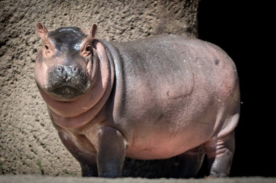 Fox19 On Twitter Teamfiona Update Our Favorite Hippo Is Exactly