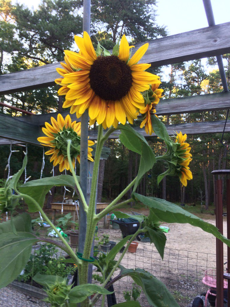 1st blooming #sunflower this summer&amp; it&#39;s all ready been picked at by #goldfinches! #garden ##birds<br>http://pic.twitter.com/5gdA8g3gW5