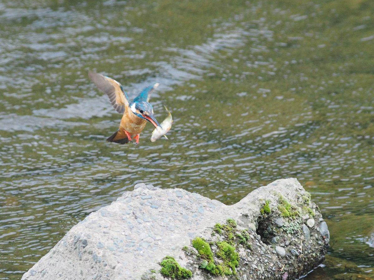 せっかくゲットした小魚を落っことしてショボーン中のカワセミ君w https://t.co/Fr52nAIBEe