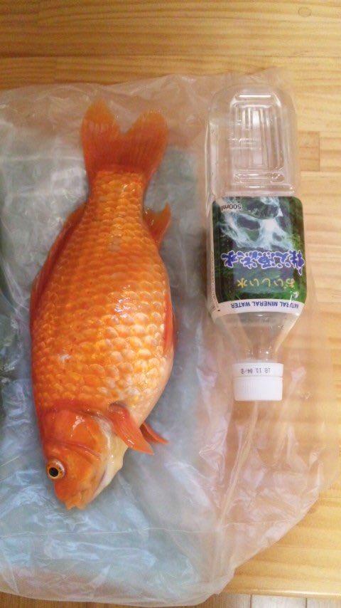 祖父母の家の金魚が死んでしまった…弟が3歳の時に祭りでとってきて、13年も生きた金魚…金魚…?お前本…