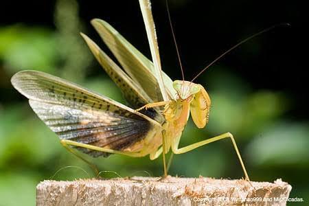 #というかジャパニーズ昆虫どいつもこいつもやたらめったら強い  ヒアリが話題だけど、空中飛ぶ系の外来…