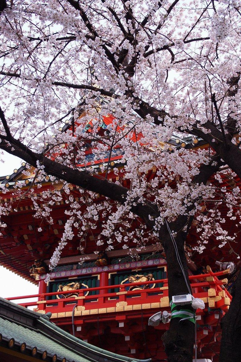 Kyoto\'s Blossoms