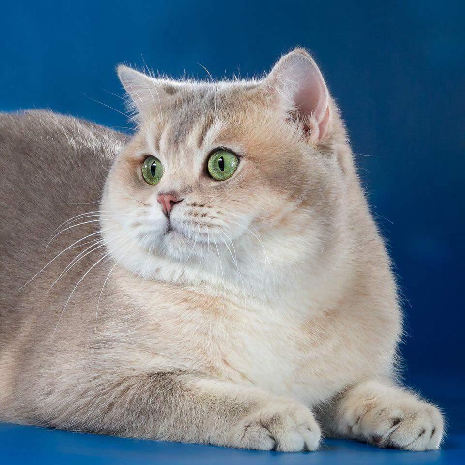 окрасы британских коты окрас картинки пылу страсти самому