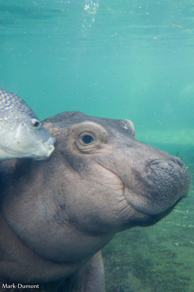 OMG, There's Going To Be A Children's Book About Fiona The Hippo
