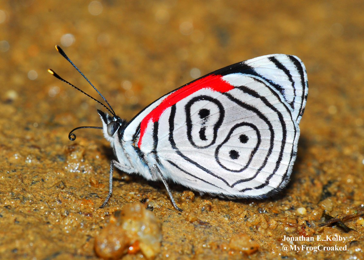 This &quot;88&quot; #Butterfly (Diaethria clymena) is one of our favorite #insects found at the #HARCC frog rescue site in #Honduras.<br>http://pic.twitter.com/am5CicrypW