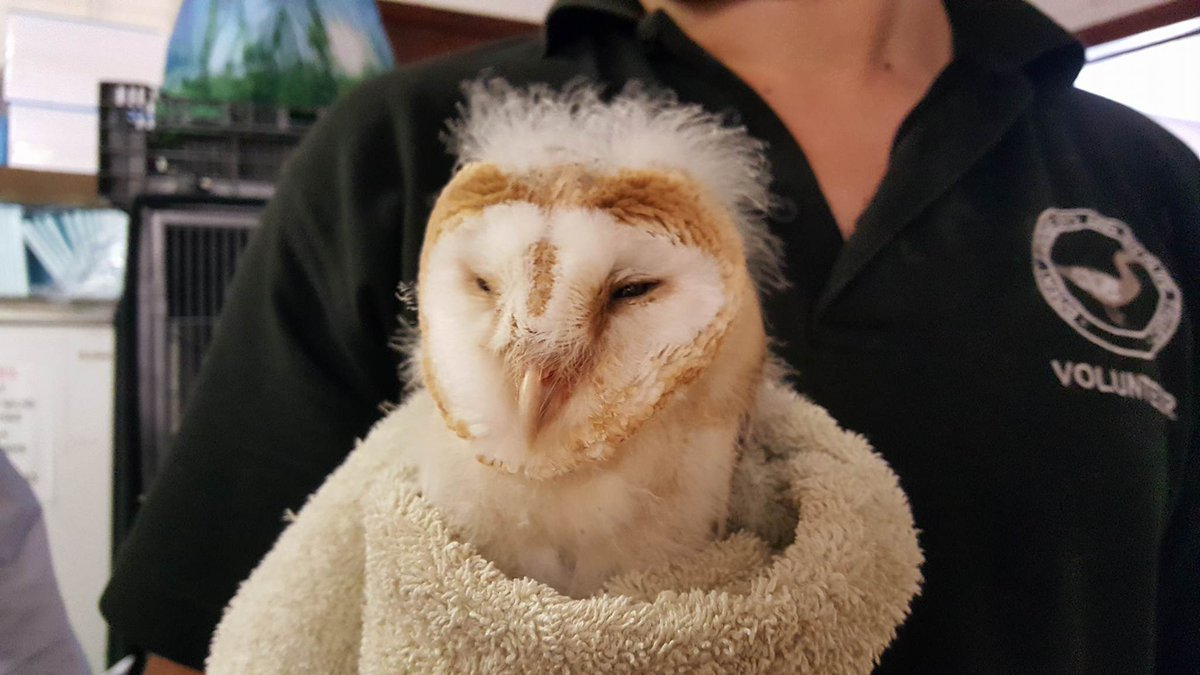 test Twitter Media - Baby Barn Owl found on the ground staff weighed him appears to be healthy. Sending lots of love for good recovery! #wildlife #owls 🦉 https://t.co/JgnbVyGLiI