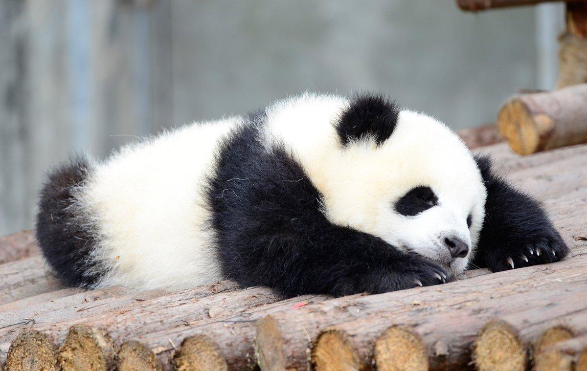 Панда картинки приколы