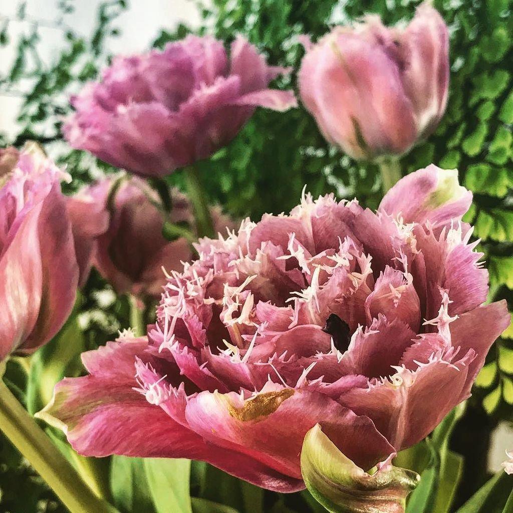 JUST A BIT BEAUTIFUL ... #tulips #flower #flowers #floweroftheday #floral #flora #petals #bloom #garden #dsfloral …  http:// ift.tt/2u60Gui  &nbsp;  <br>http://pic.twitter.com/Jg1hCwowvg