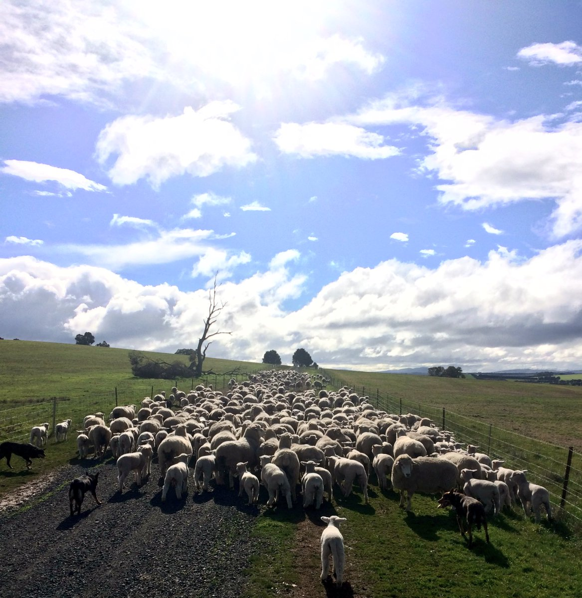Shifting ewes &amp; lambs again - chasing grass over the winter feed gap. #lambing17 <br>http://pic.twitter.com/nHBNYeKNH7