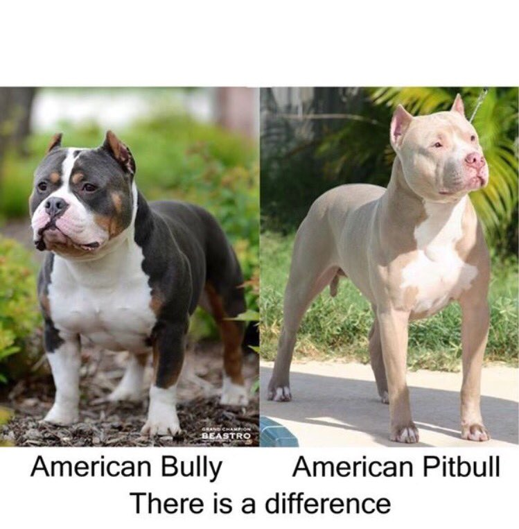 What Is The Difference Between A Pitbull And Bully ...