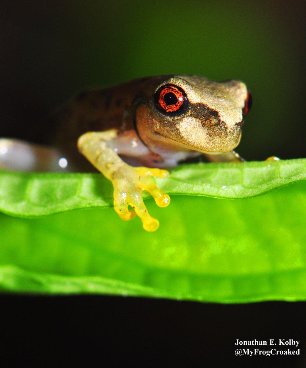 Terrestrial Spread of #Amphibian #Chytrid in Honduras via @MyFrogCroaked  http:// dx.plos.org/10.1371/journa l.pone.0125386 &nbsp; …  #TreeFrogTuesday #Plants #PLOSONE #HARCC <br>http://pic.twitter.com/l7eMVmAeEp