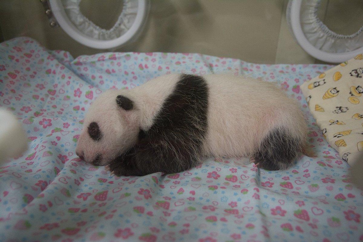 ジャイアントパンダの赤ちゃん(7月12日撮影) 健康状態は良好です。6月12日に生まれてから一ヶ月が経ちました。引き続き注意深く観察をしていきます。