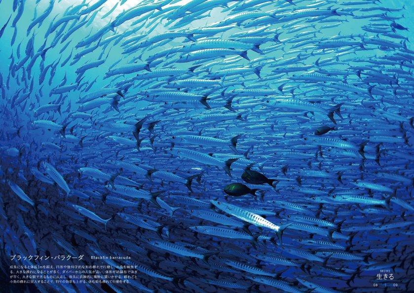 ブラックフィン・バラクーダ   成魚になると体長1mを超え、円形や幾何学的な形の群れで行動し、小魚を捕食する。 体形が紡錘形で泳ぎが早く、大きな眼で光るものに反応し、我先に直線的に獲物に襲いかかる。  http://www.kanzen.jp/book/b308280.html…  #群れ #動物写真 #魚pic.twitter.com/102esCaYmc